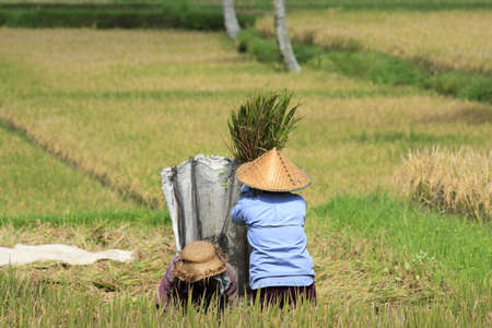 winnowing: Farmers winnowing rice in the paddy  near Ubud  Bali Indonesia