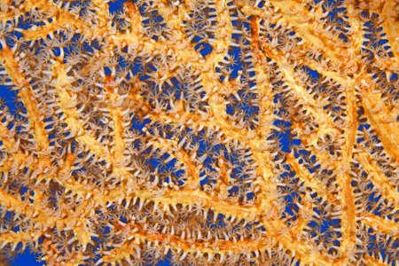 polyps: Patterns in Nature, an orange Sea Fan, or Gorgonia, showing the feeding polyps. Uepi, Solomon Islands