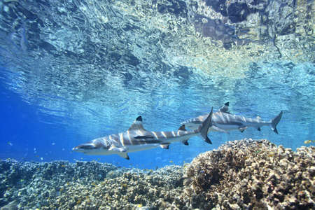Two Blacktip Reef Sharks, Carcharhinus melantopterus, swimming over shallow corals on the reef edge with the surface above. One shark has a slender suckerfish, or remora, Echeneis naucrates, attached to its side. Uepi, Solomon Islands. Solomon Sea, Pacifi Stock Photo