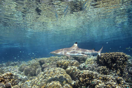 dangerous reef: A Blacktip Reef Shark, Carcharhinus melanopterus, swimming over shallow coral reef. Uepi, Solomon Islands. Solomon Sea, Pacific Ocean Stock Photo