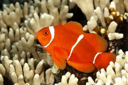 solomon: A Spinecheek Anemonefish, also known as a Maroon Clownfish, Premnas biaculeatus. Uepi, Solomon Islands. Solomon Sea, Pacific Ocean