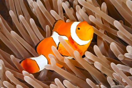 A Clown Anemonefish, or Clownfish, Amphiprion percula, sheltering among the tentacles of its anemone. Uepi, Solomoon Islands Stock Photo - 22280440