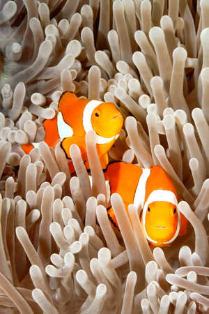 A pair of clown anemonefish, Amphiprion percula, swimming among the tentacles of their sea anemone, Uepi, Solomon Islands Stock Photo - 22447348