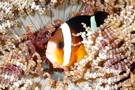 anemonefish: A Clarks Anemonefish, or Clownfish, Amphiprion clarkii, sheltering among the tenacles of its host anemone. Tulamben, Bali Stock Photo