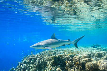 A Grey Reef Shark, Carcharhinus amblyrhynchos, swimming over coral reef with reflections on the surface. Uepi, Solomon Islands. Solomon Sea, Pacific Ocean