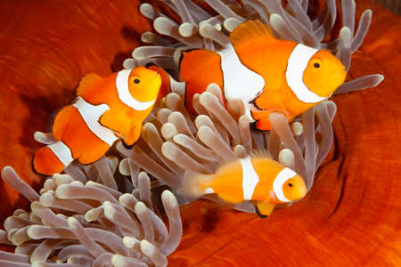 clown fish amphiprion: A family of Clown Anemonefish, Amphiprion percula. Uepi, Solomon Islands. Solomon Sea, Pacific Ocean Stock Photo
