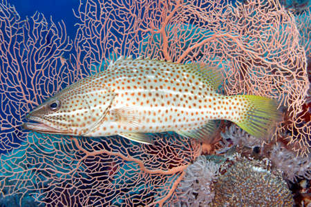 indo pacific: A Whitelined Rockcod, also known as a  Slender Grouper, Anyperodon leucogrammicus, in front of a pink gorgonian sea fan. Uepi, Solomon Islands. Solomon Sea, Pacific Ocean