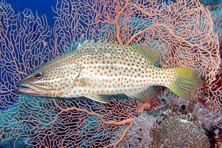 gorgonian sea fan: A Whitelined Rockcod, also known as a  Slender Grouper, Anyperodon leucogrammicus, in front of a pink gorgonian sea fan. Uepi, Solomon Islands. Solomon Sea, Pacific Ocean