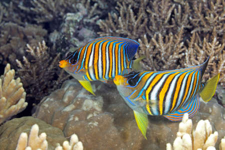 royal angelfish: Two Regal Angelfish, swimming over coral reef. Also known as Royal Angelfish.  Uepi, Solomon Islands. Solomon Sea, Pacific Ocean Stock Photo