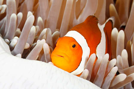 clown fish: Clown Anemonefish, Amphiprion percula, sheltering in its Sea AnemoneTulamben, Bali, Indonesia. Bali Sea, Indian Ocean Stock Photo