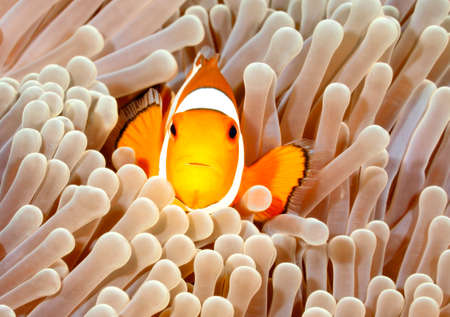 clown fish amphiprion: Clown Anemonefish, Amphiprion percula, swimming among the tentacles of its anemone home. Tulamben, Bali, Indonesia Stock Photo