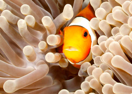 percula: Clown Anemonefish, Amphiprion percula, swimming among the tentacles of its anemone home. Tulamben, Bali, Indonesia Stock Photo