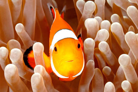 clown anemonefish: Clown Anemonefish, Amphiprion percula, swimming among the tentacles of its anemone home. Tulamben, Bali, Indonesia Stock Photo