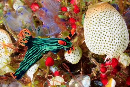 A brightly coloured Nudibranch, Nembrotha kubaryana. Often called the Variable Neon Slug, due to their bright colours. Tulamben, Bali, Indonesia. Bali Sea, Indian Ocean photo