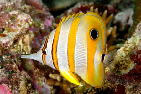 chelmon: Beaked Coralfish, Chelmon rostratus. Uepi, Solomon Islands Stock Photo