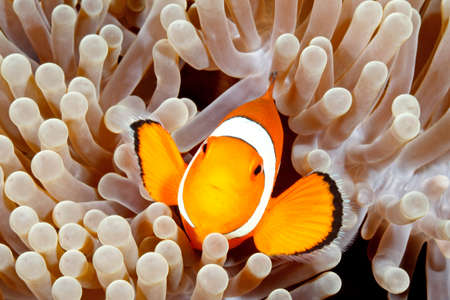 amphiprion: Clown Anemonefish, Amphiprion percula, swimming among the tentacles of its anemone home. Tulamben, Bali, Indonesia Stock Photo