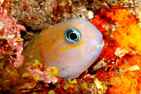 midas: A tiny Midas Blenny, Ecsenius midas, peering out of it home in a hole in the reef. Also known as a Golden or Lyretail Blenny. Tulamben, Bali, Indonesia. Bali Sea, Indian Ocean