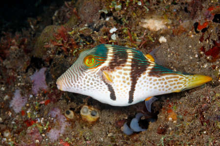 indo pacific: Valentines Pufferfish, Canthigaster valentini. Also known as a Black Saddled Pufferfish or Toby.Tulamben, Bali, Indonesia. Bali Sea, Indian Ocean