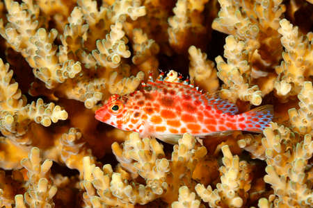 hard coral: Coral Hawkfish, Cirrhitichthys oxycephalus, resting on hard coral on the reef. Uepi, Solomon Islands. Also known as Pixie or Threadfin Hawkfish Stock Photo