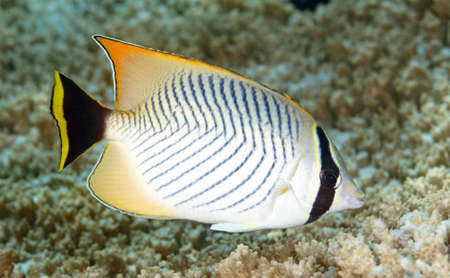 butterflyfish: Chevroned Butterflyfish, Chaetodon trifascialis, swimming over coral reef. Tulamben, Bali, Indonesia. Bali Sea, Indian Ocean