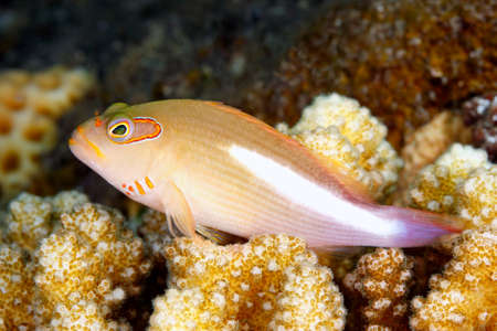 indo pacific: Arc Eye Hawkfish, Paracirrihites arcatus, resting on hard corals on the reef. Tulamben, Bali, Indonesia. Bali Sea, Indian Ocean