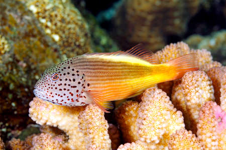 indo: Blackside Hawkfish, Paracirrhites forsteri, resting on hard corals on the reef. Also known as Freckled Hawkfish. Tulamben, Bali, Indonesia. Bali Sea, Indian Ocean
