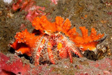 indo pacific: A marine hairy red hermit crab, Dardanus lagopdes. Tulamben, Bali, Indonesia. Bali Sea, Indian Ocean