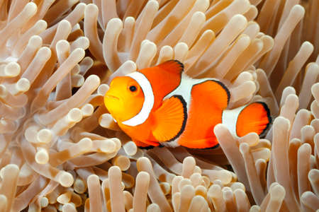 clown fish: Clown Anemonefish, Amphiprion percula, swimming among the tentacles of its anemone home. Tulamben, Bali, Indonesia Stock Photo