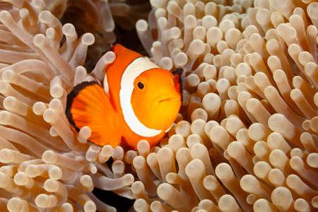 percula: Clown Anemonefish, Amphiprion percula, swimming among the tentacles of its anemone home. Tulamben, Bali, Indonesia Stock Photo