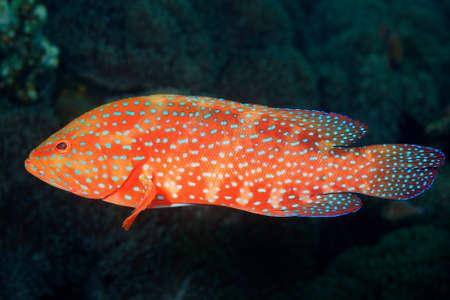 Coral Grouper, also known as Coral Cod and Coral Hind. Cephalopholis miniata. Tulamben, Bali, Indonesia. Bali Sea, Indian Ocean