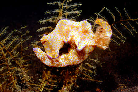 nudi: Nudibranch, Ceratosoma tenue on a hydroid. Tulamben, Bali, Indonesia. Bali Sea, Indian Ocean