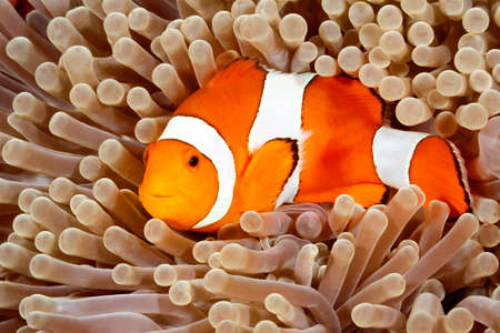 ocellaris: Clown Anemonefish, Amphiprion percula, swimming among the tentacles of its anemone home. Tulamben, Bali, Indonesia Stock Photo