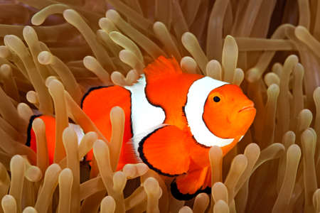 ocellaris: Clown Anemonefish, Amphiprion percula, swimming among the tentacles of its anemone home. Uepi, Solomon Islands
