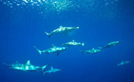 indo pacific: A Pack of Grey Reef Sharks, Melanopterus amblyrhynchos, and Blacktip Reef Sharks, Melanopterus Carcharhinus, swimming underwater. Uepi, Solomon Islands. Solomon Sea, Pacific Ocean