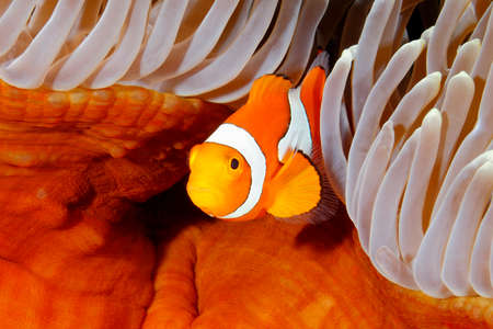 Clown Anemonefish, Amphiprion percula, swimming among the tentacles of its anemone home. Uepi, Solomon Islands