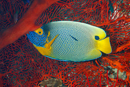 pomacanthus: Blueface Angelfish, Pomacanthus xanthometopon. Also known as Yellowface Angelfish. Being cleaned by a Blue Streak Cleaner Wrasse, Labroides dimidiatus. Uepi, Solomon Islands. Solomon Sea, Pacific Ocean