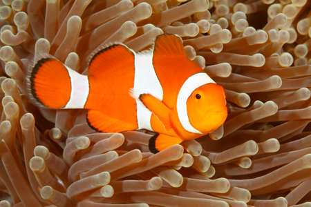 Clown Anemonefish, Amphiprion percula, swimming among the tentacles of its anemone home. Tulamben, Bali, Indonesia Stock Photo