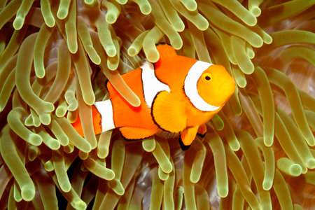 clown fish: Clown Anemonefish, Amphiprion percula, swimming among the tentacles of its anemone home. Uepi, Solomon Islands