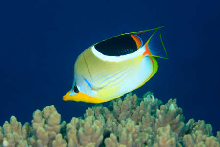 chaetodon: Saddled Butterflyfish, Chaetodon ephippium, swimming over coral reef with a deep blue water background. Stock Photo