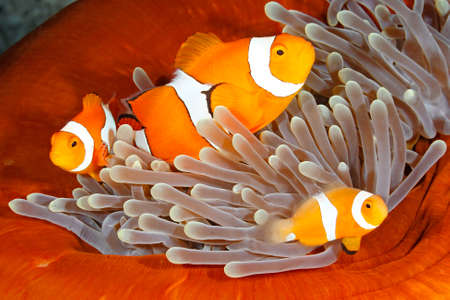 amphiprion: A family of Clown Anemonefish, Amphiprion percula. Uepi, Solomon Islands. Solomon Sea, Pacific Ocean Stock Photo