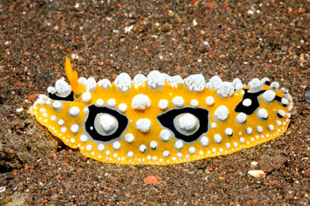indo: Nudibranch, Phyllidia ocellata, crawling across sand. Tulamben, Bali, Indonesia. Bali Sea, Indian Ocean