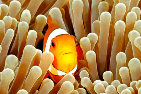 indo: Clown Anemonefish, Amphiprion percula, swimming among the tentacles of its anemone home. Tulamben, Bali, Indonesia Stock Photo