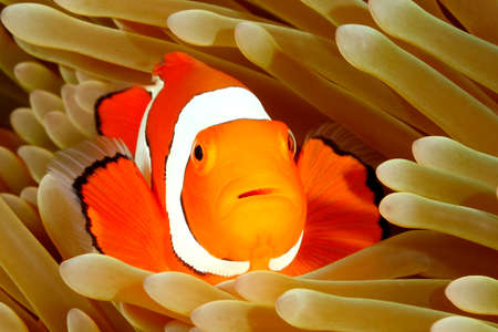 indo: Clown Anemonefish, Amphiprion percula, swimming among the tentacles of its anemone home. Uepi, Solomon Islands