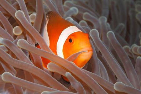 Clown Anemonefish, Amphiprion percula, swimming among the tentacles of its anemone home and holding an tentacle in its mouth. Tulamben, Bali, Indonesia