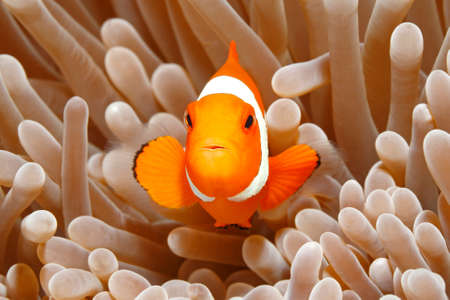 Clown Anemonefish, Amphiprion percula, swimming among the tentacles of its anemone home. Uepi, Solomon Islands. Solomon Sea, Pacific Ocean Stock Photo