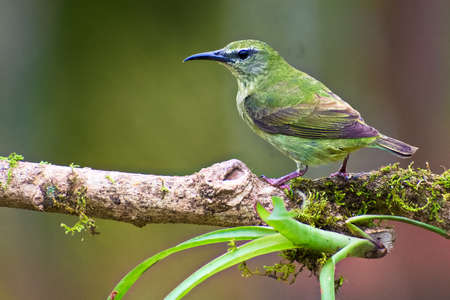 Portrait of Adult Female Red legged Honeycreeper (Cyanerpes cyaneus) perched on mossy branch