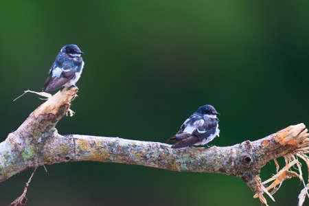 Pair of Mangrove Swallows (Tachycineta albilinea) perching on branch at Tarcoles River