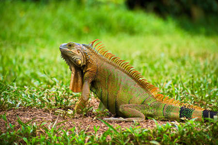 Portrait of Green Iguana with raised head on the ground