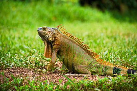 地面に隆起した頭を持つグリーンイグアナの肖像