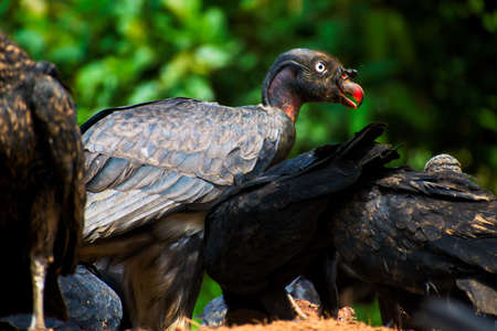 scavenger: Portrait of Juvenile King Vulture (Sarcoramphus papa) within Black Vultures Stock Photo
